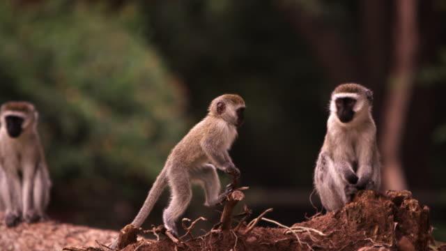 Four vervet monkeys on a fallen tree trunk