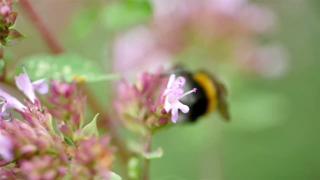 Four videos of Bumble bee in macro shot in slow motion