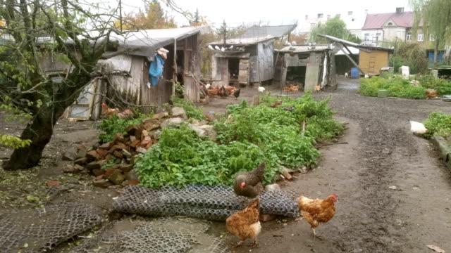 vídeos de stock e filmes b-roll de quatro vídeos de liberdade galinhas - galinha fêmea de animal