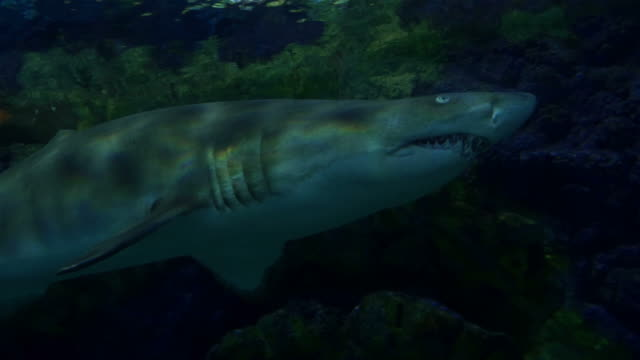 Four videos of sharks in 4K