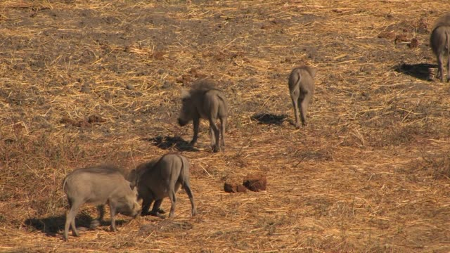 vídeos de stock, filmes e b-roll de four warthogs graze on the plains of africa. available in hd. - javali africano