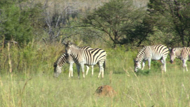 MS PAN Four zebra's in veld eating grass at Entabeni Private Game Reserve / Limpopo, South Africa