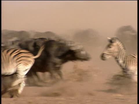 four zebras run past herd of buffalo creating cloud of dust - krüger nationalpark stock-videos und b-roll-filmmaterial