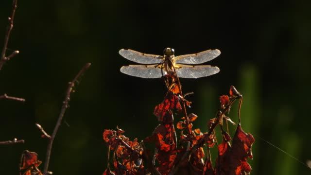 stockvideo's en b-roll-footage met vier-gevlekte chaser (libellula quadrimaculata)-khingan nature reserve - dierenvleugel