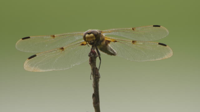 four-spotted chaser (libellula quadrimaculata) - khingan nature reserve - animal wing stock videos & royalty-free footage