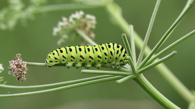 fourth instar caterpillar of old world swallowtail (papilio machaon) - gliedmaßen körperteile stock-videos und b-roll-filmmaterial
