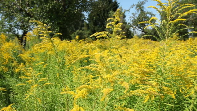 Fowers (Goldenrod) in the wind