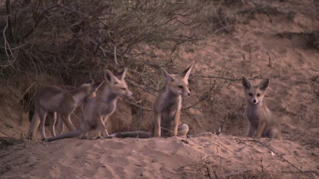 fox 1 - fox stock videos and b-roll footage