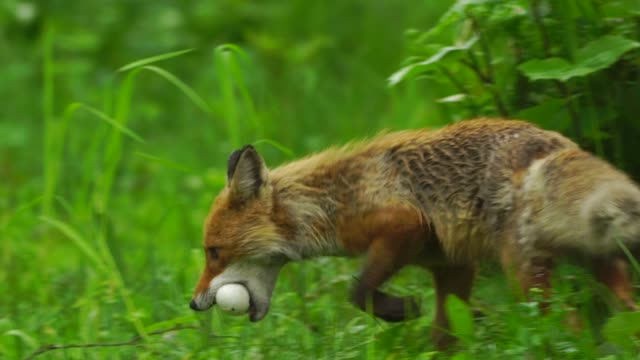 fox and bird egg (kuril islands) - island stock videos & royalty-free footage