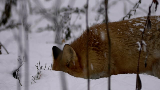 fox and winter - taiga stock videos and b-roll footage