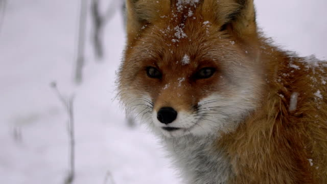 fox and winter - two animals stock videos and b-roll footage