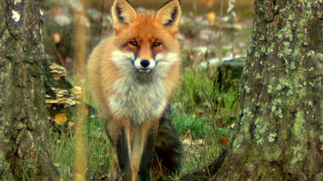 fox. autumn - fairytale stock videos & royalty-free footage
