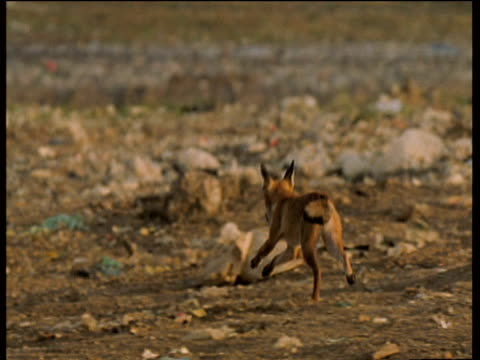 vidéos et rushes de fox chases another fox over industrial wasteland until one fox drops its food and runs away - évasion