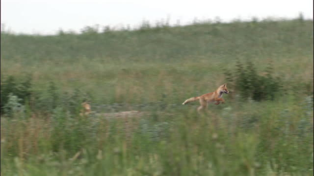 fox cubs chase and play, hulun buir, china - fox stock videos and b-roll footage