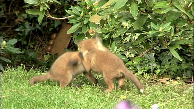 fox cubs - young animal stock videos & royalty-free footage