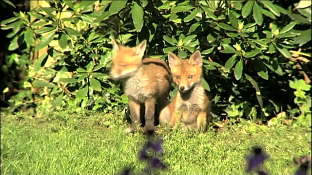 fox cubs - domestic garden stock videos & royalty-free footage