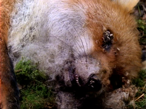 t/l - fox decomposition by maggots, rot, cu - death stock videos & royalty-free footage