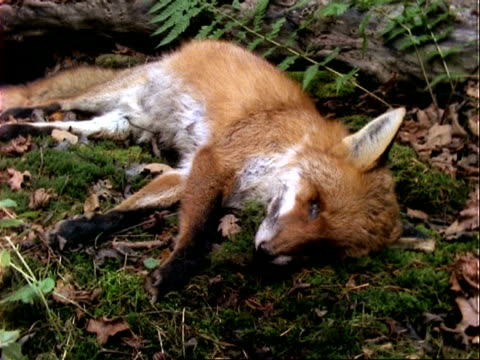 t/l fox decomposition by maggots, rot, ms - death stock videos & royalty-free footage