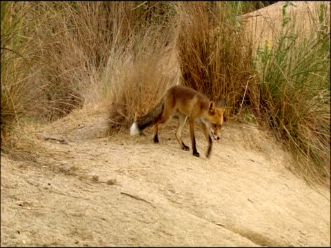 fox (vulpes vulpes) drinking, andalusia, southern spain - carnivora stock videos and b-roll footage