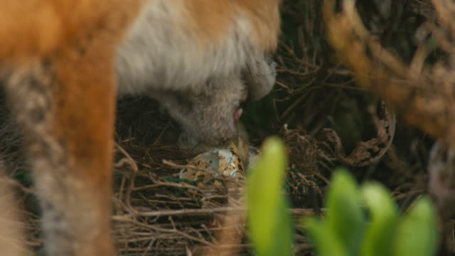 fox eating bird's eggs (4k) - fox stock videos and b-roll footage