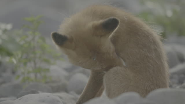 vídeos de stock, filmes e b-roll de fox grooming itself, shiretoko, japan - bigode de animal