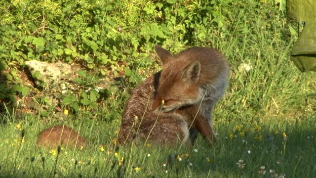 fox pflege - surrey england stock-videos und b-roll-filmmaterial