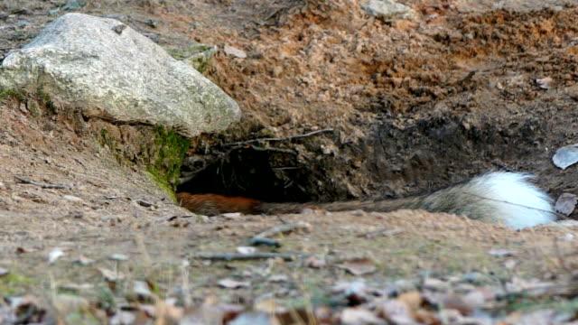 Fox hides meat in burrow