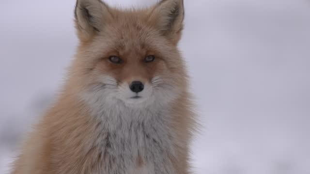 fox / hokkaido, japan - schnurrhaar stock-videos und b-roll-filmmaterial