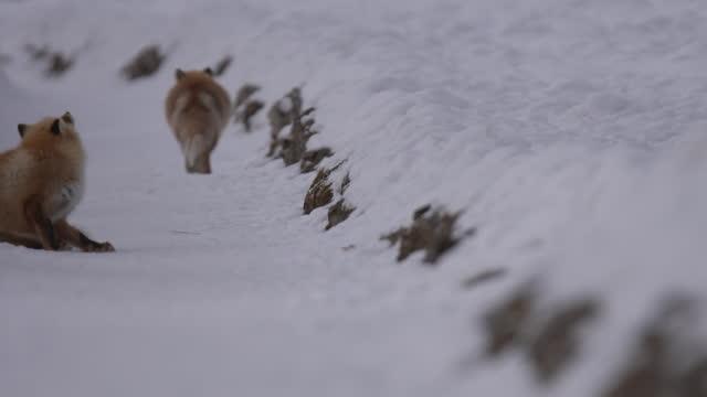 fox / hokkaido, japan - sitting stock videos & royalty-free footage