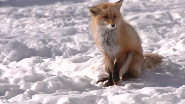 fox / hokkaido, japan - animal hair stock videos & royalty-free footage