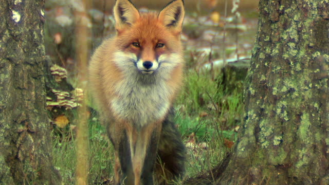 fox in forest - fox stock videos and b-roll footage