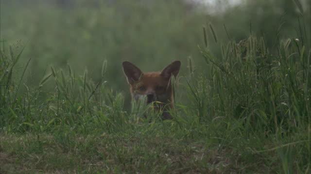 MS, Fox in grass