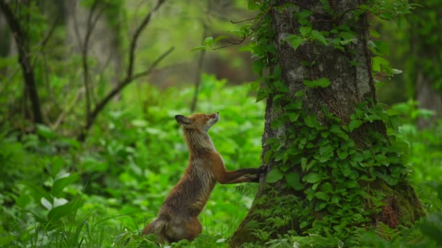 fox in kunashir island (kuril islands) - living organism stock videos & royalty-free footage