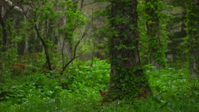 fox in kunashir island (kuril islands) - cartography stock videos & royalty-free footage