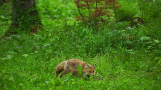 fox in kunashir island (kuril islands) - wildlife stock videos & royalty-free footage