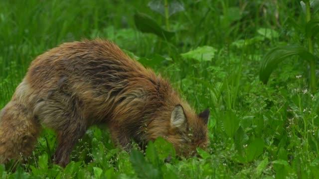 Fox in Kunashir Island (Kuril Islands)