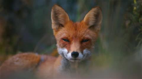 räv i sommar - animals in the wild bildbanksvideor och videomaterial från bakom kulisserna