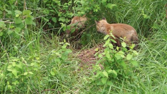 fox kits / pups outside their den - young animal stock videos & royalty-free footage