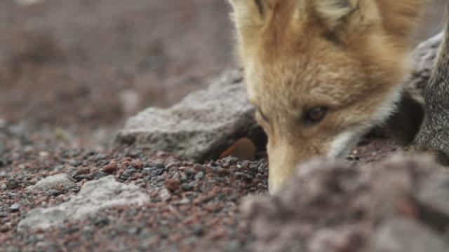 fox moves around red rocks, alaska, 2009 - fox stock videos and b-roll footage