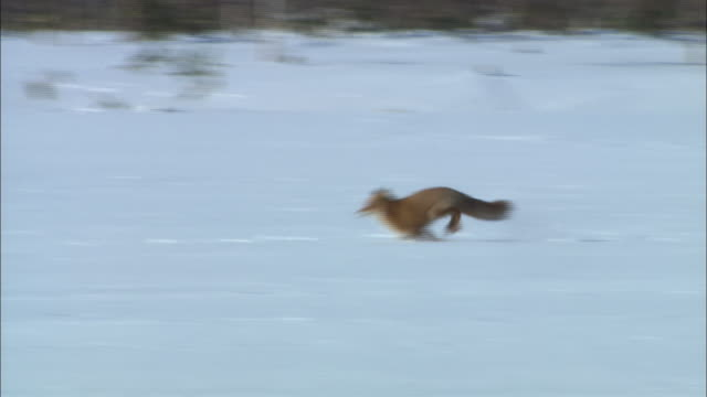 fox on sarobetsu plain in hokkaido - national park stock videos & royalty-free footage
