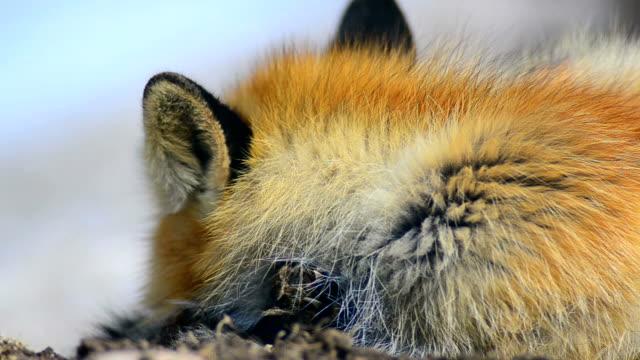 Fox rests.