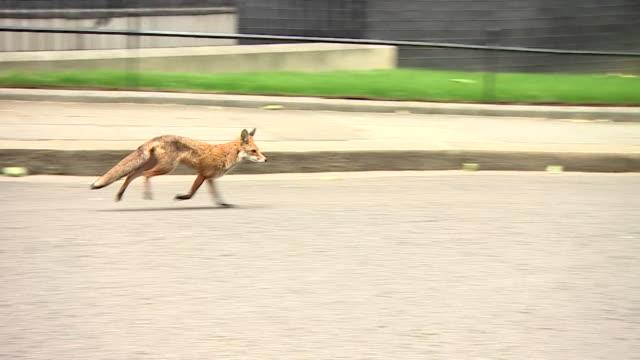 A fox running around Downing Street