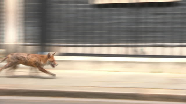 a fox running past the 10 downing street front door - one animal stock videos & royalty-free footage