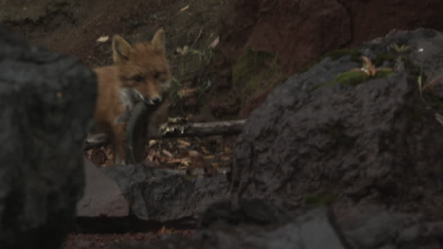fox runs away with salmon in mouth, alaska, 2009 - fox stock videos and b-roll footage