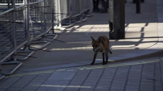 fox runs into downing street - mammal stock videos & royalty-free footage
