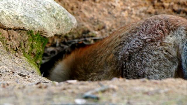 Fox runs into the burrow