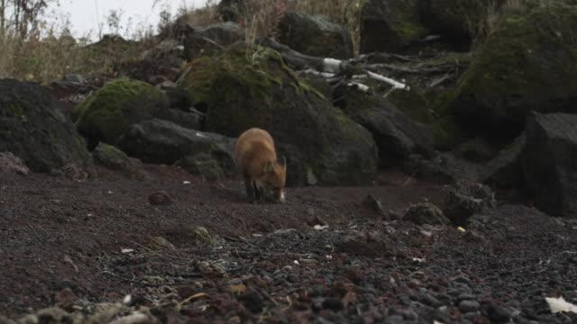 fox sits on rocks and eats in rain, alaska, 2009 - sitting stock videos & royalty-free footage
