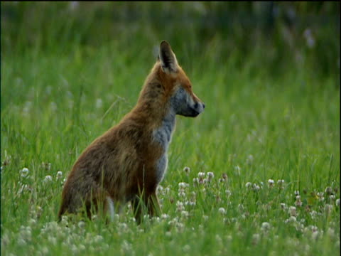 vidéos et rushes de fox sitting in lush green meadow scratches neck cotswolds - angleterre