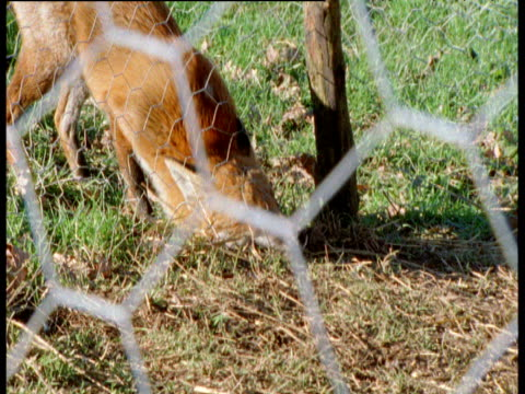fox squeezes under wire and into chicken coop, uk - fence stock videos & royalty-free footage