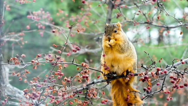 fox squirrel eating berries - squirrel stock videos and b-roll footage